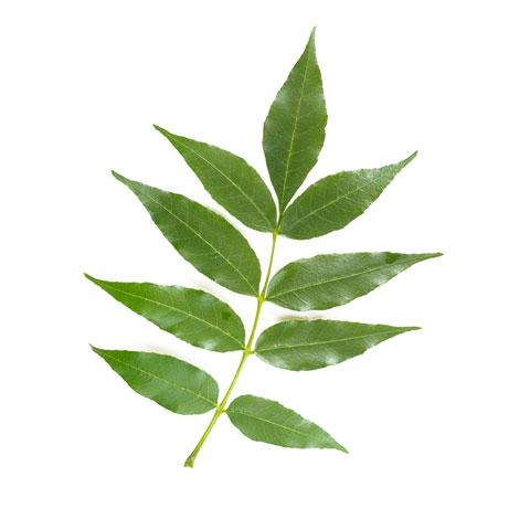 ash tree leaf buy ash tree timber in michigan