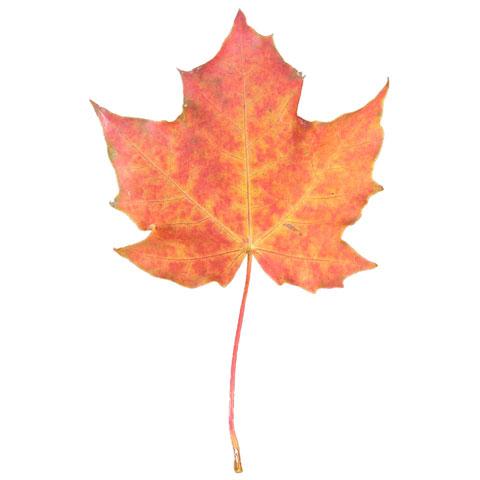 Maple tree leaf buy standing lumber buy maple trees in michigan