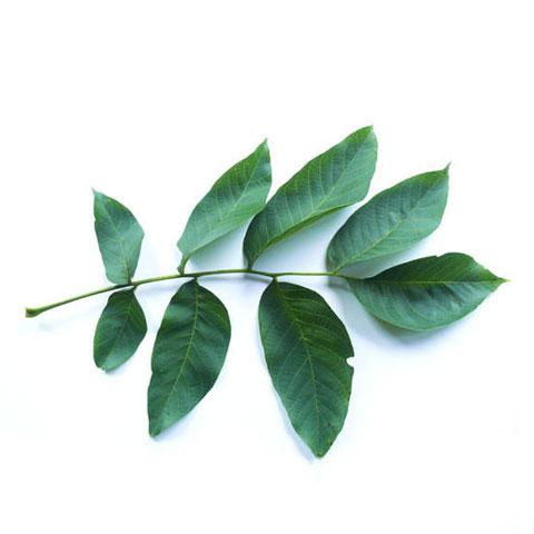 Walnut Leaves buy walnut trees standing timber buyers Michigan